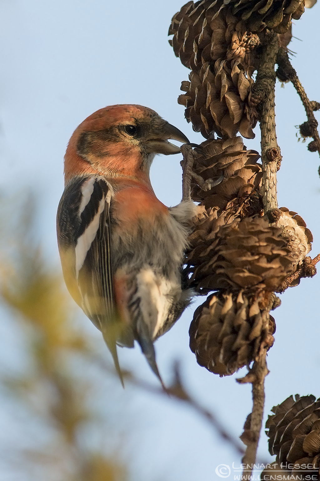 Two-barred Crossbill moon