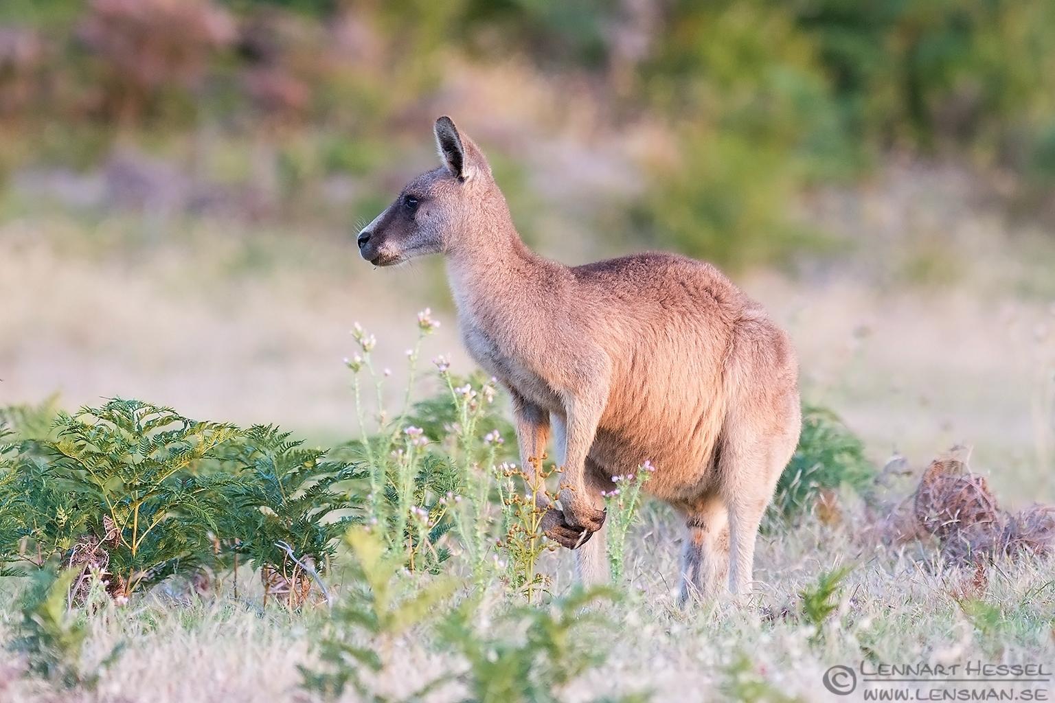 Forester Kangaroo 131224