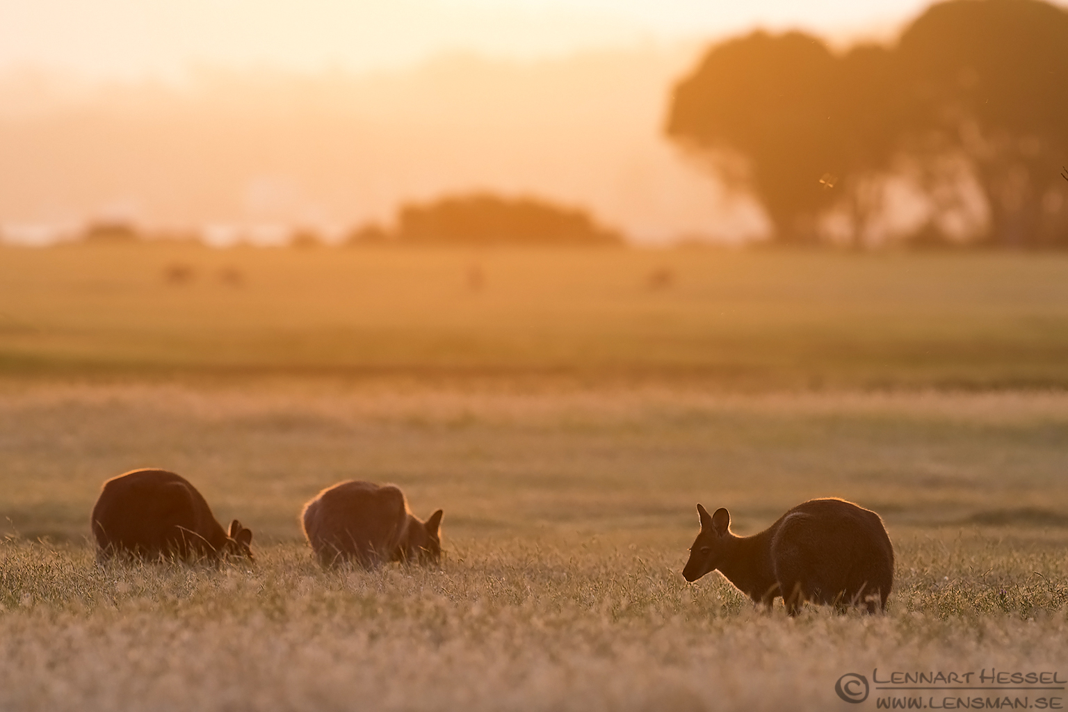 Red-necked Wallabies in backlight christmas