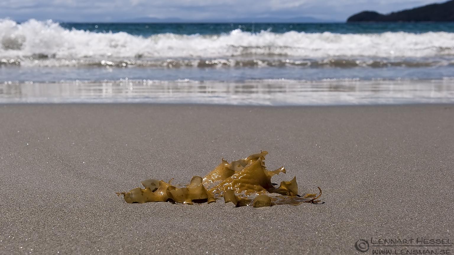 Kelp Bruny Island