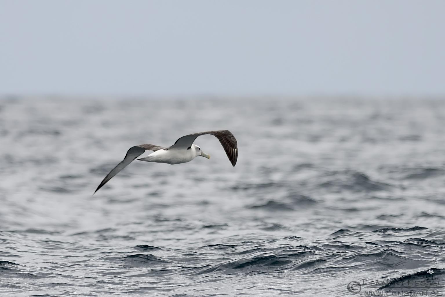Shy Albatross Bruny Island