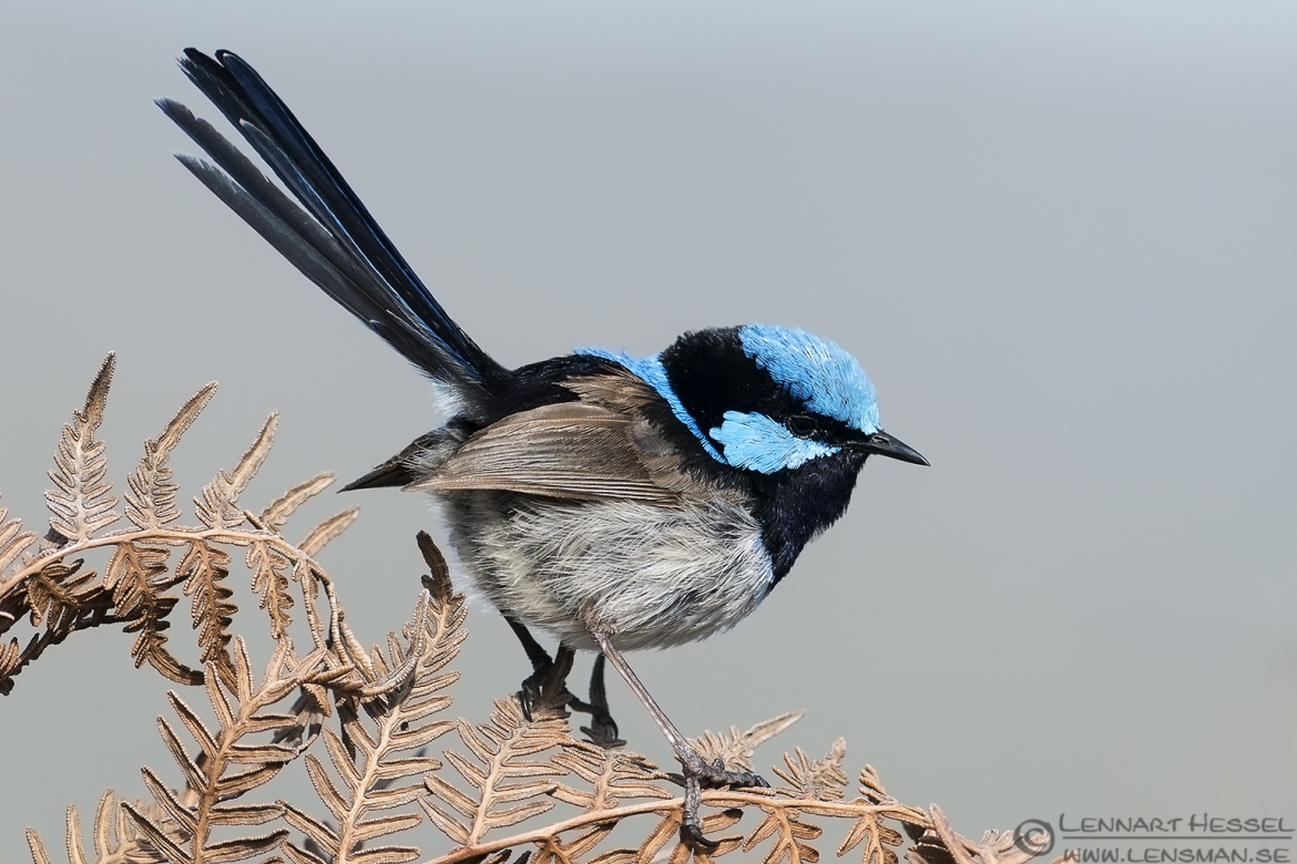 Superb Fairywren wild bird National Geographic