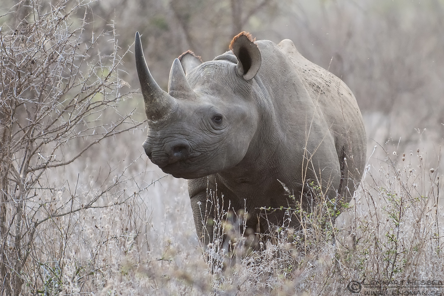 Black rhino wilderness national geographic