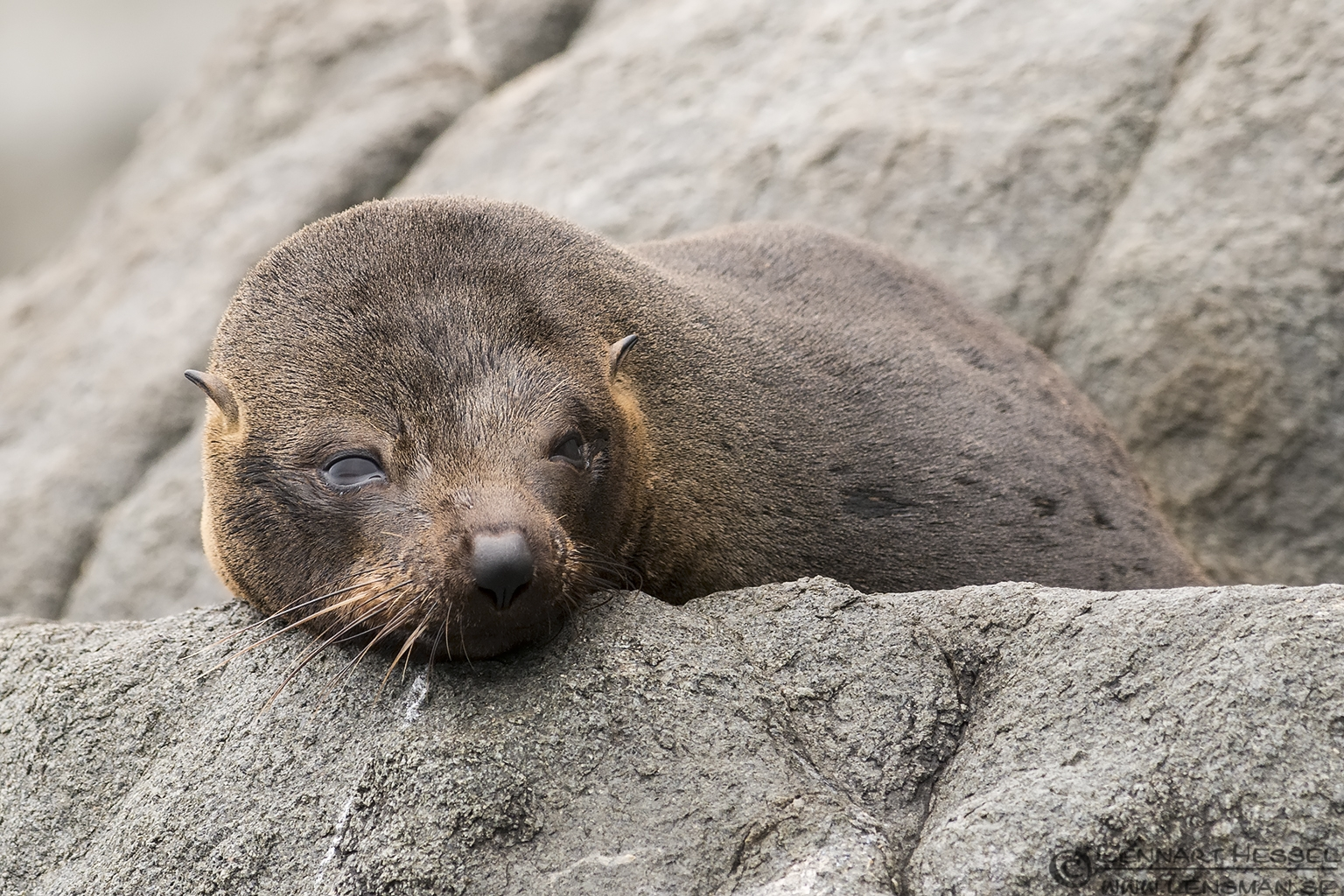 Sleepy Australian Fur Seal Tasman Peninsula