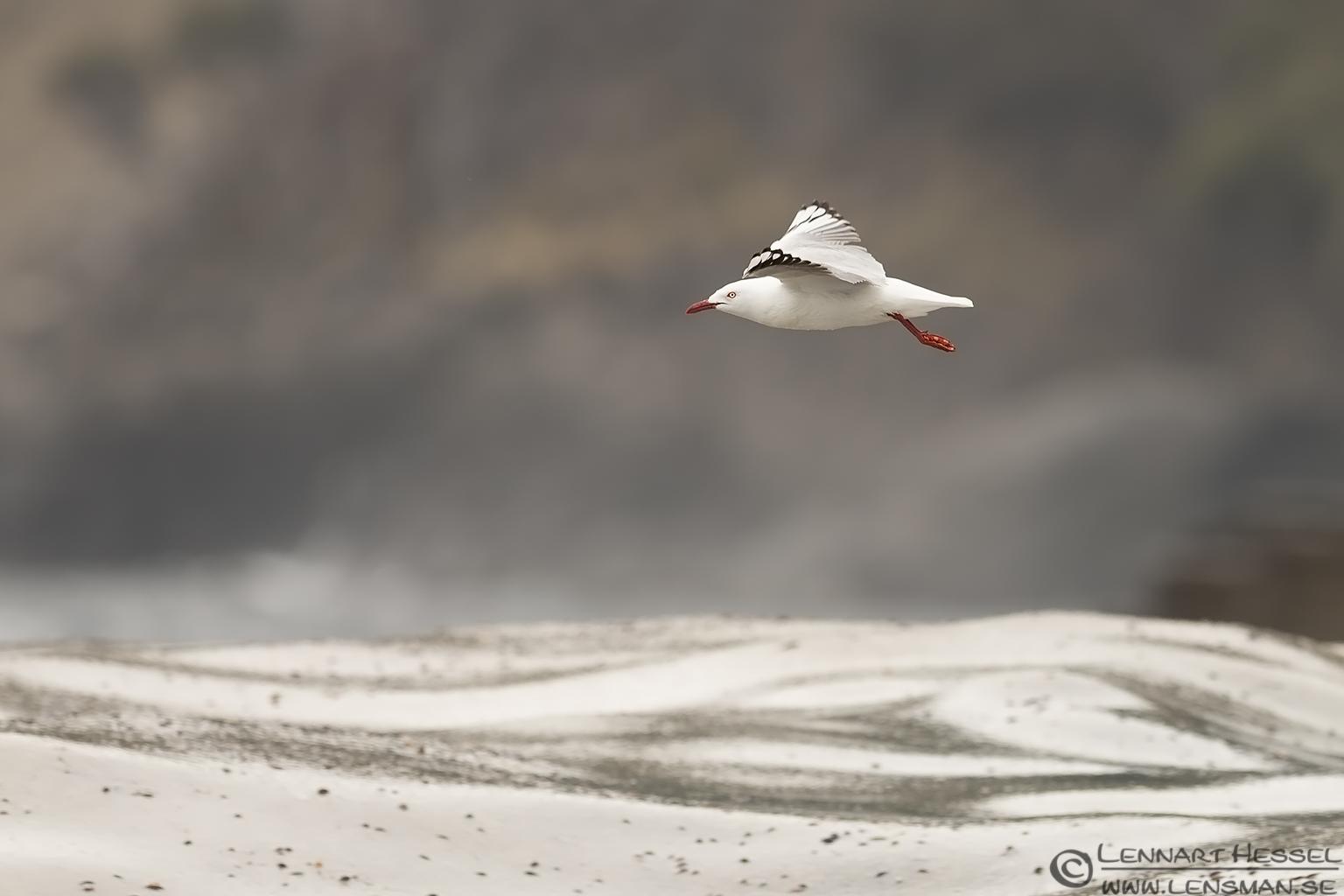 Silver Gull Tasman Peninsula