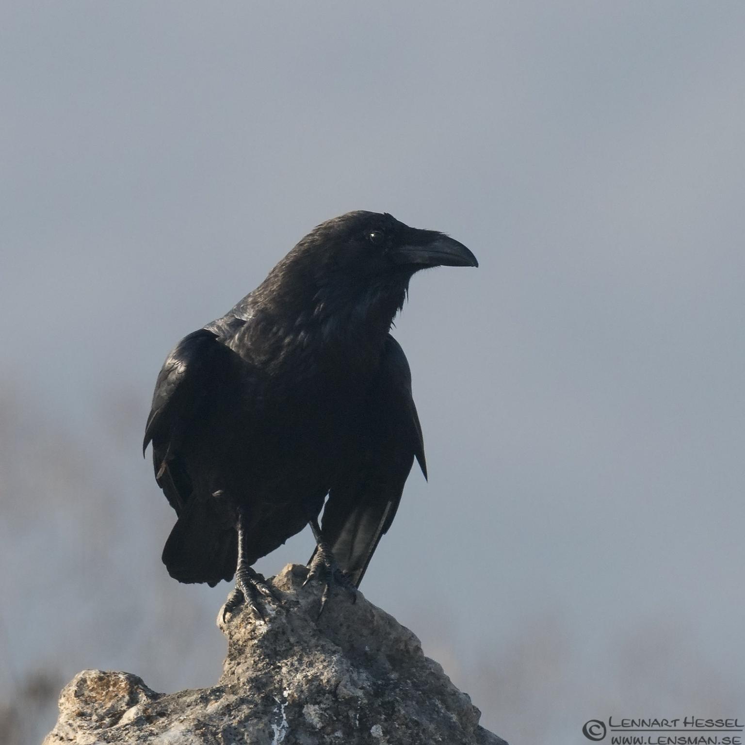 Raven Bulgaria