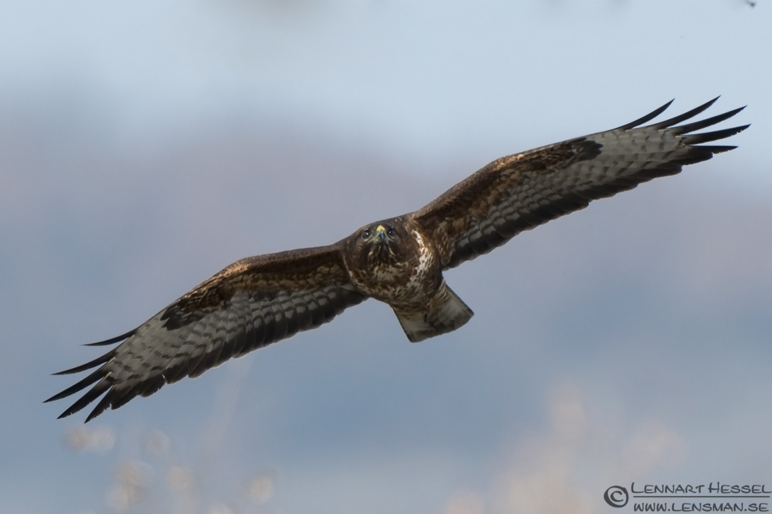 Common Buzzard Bulgaria
