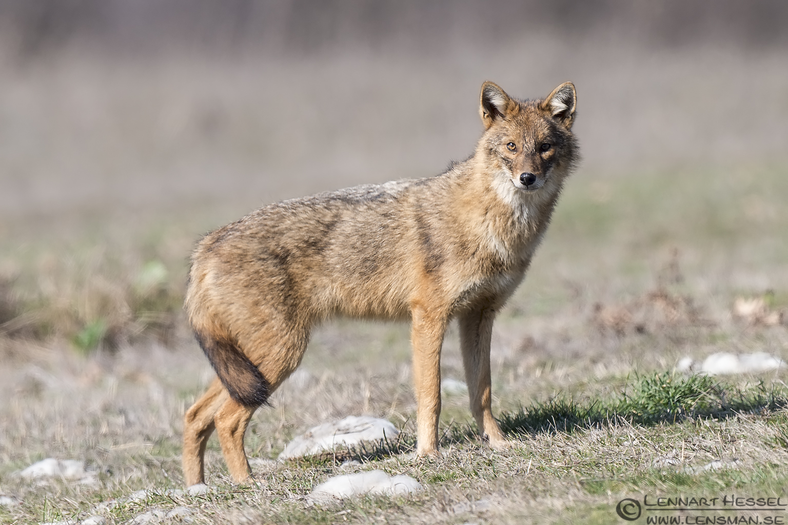 Golden Jackal looking Bulgaria