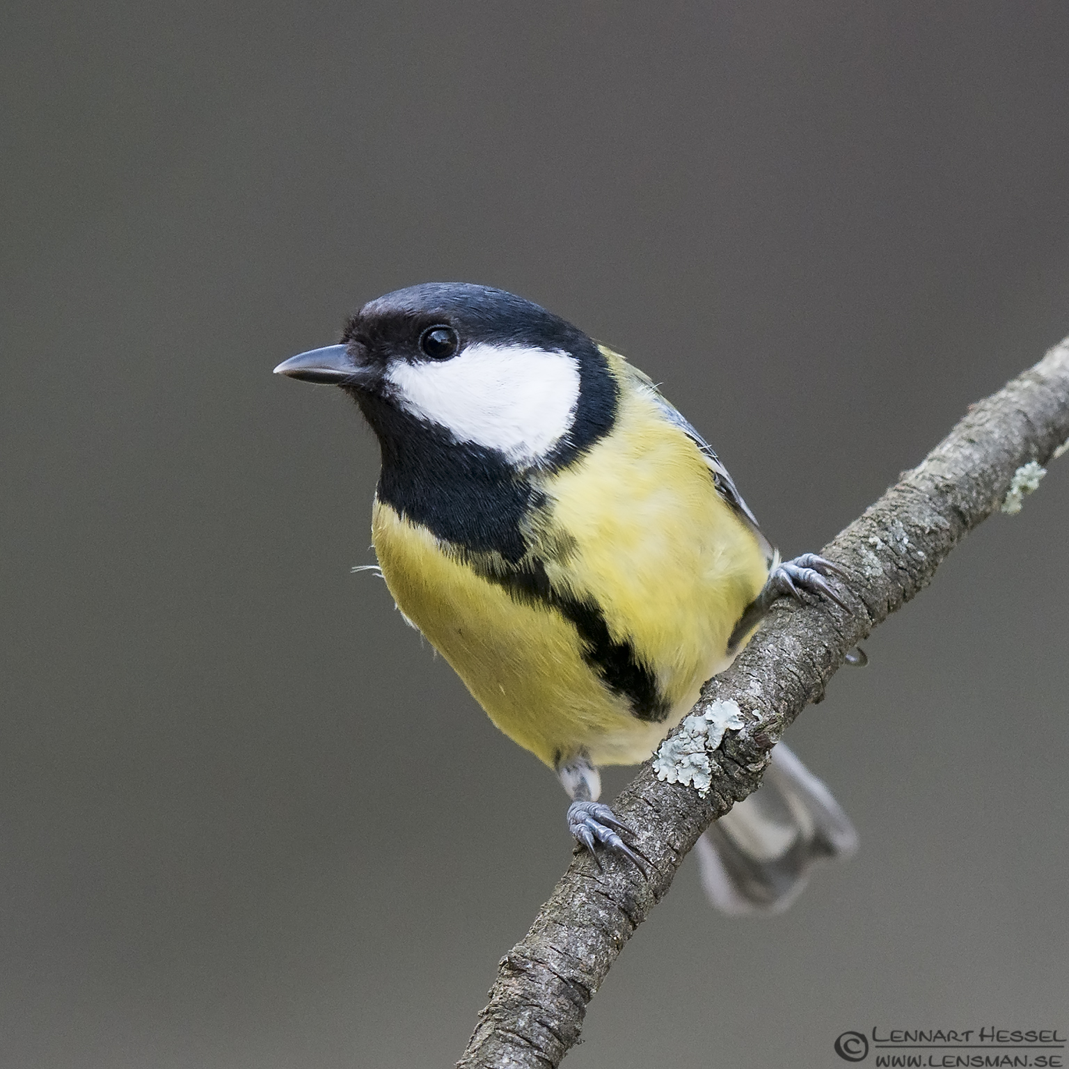 Great Tit Bulgaria