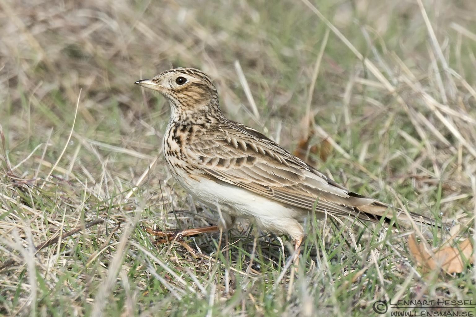 Woodlark Bulgaria