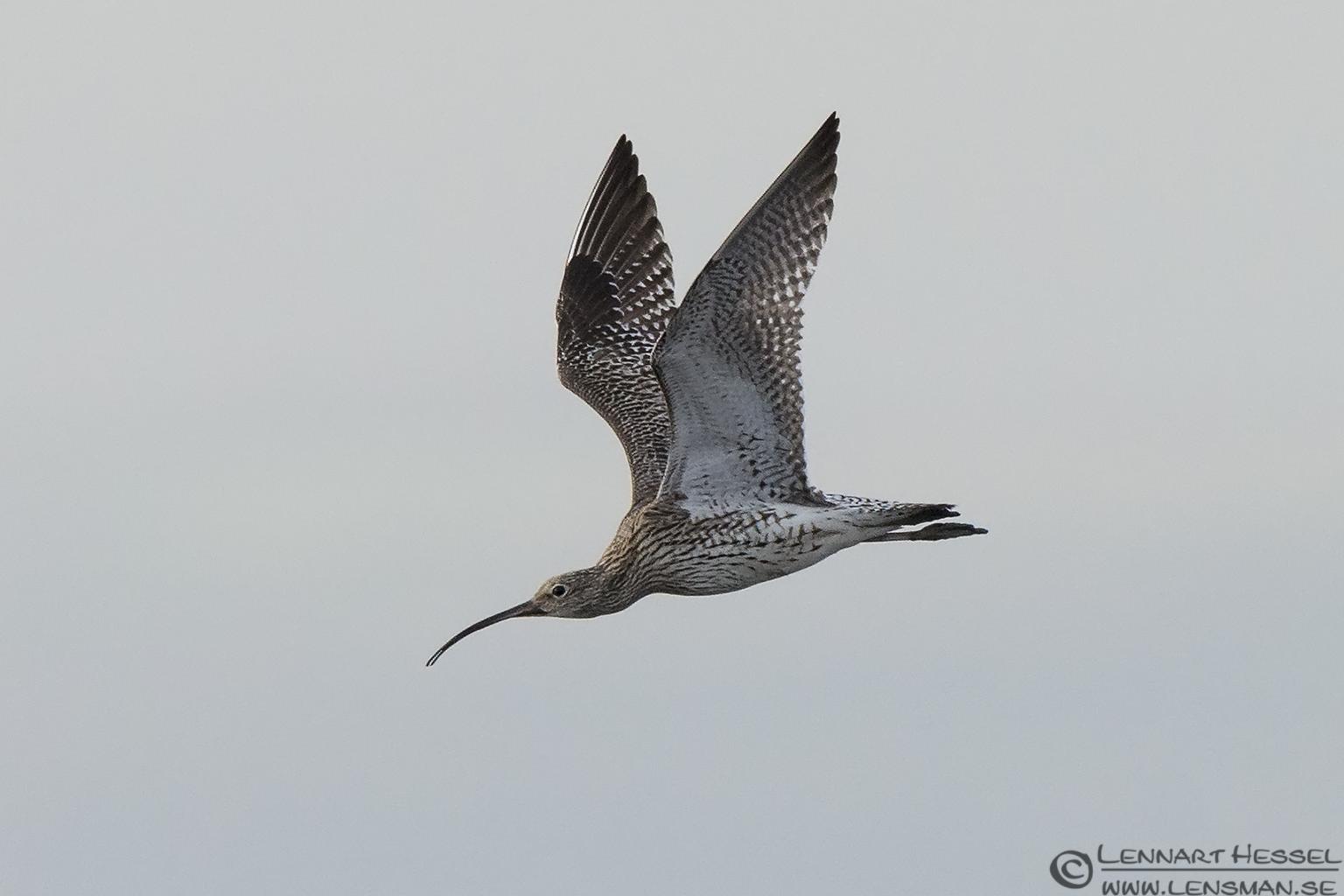 Eurasian Curlew Evros Delta