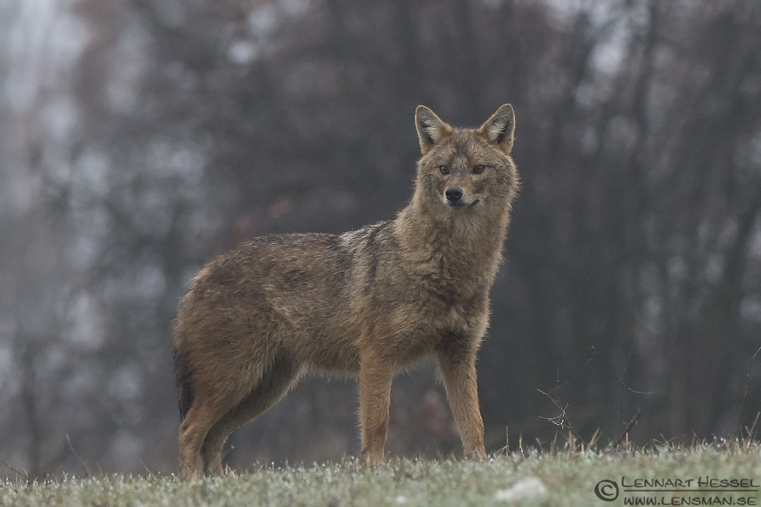 Golden Jackal look Bulgaria