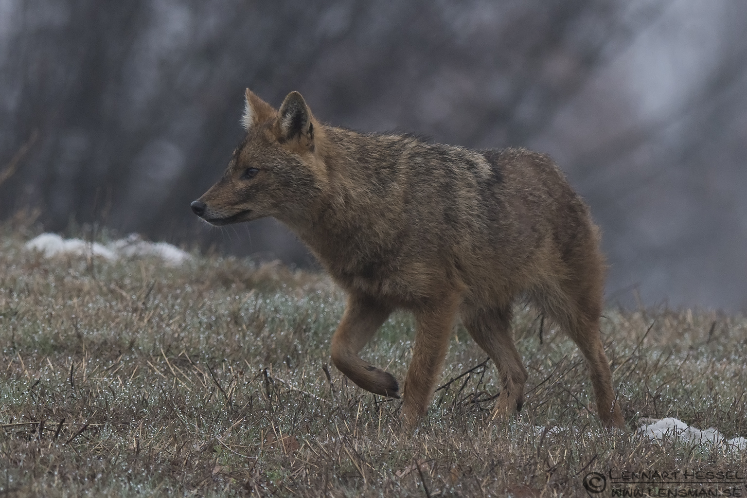 Golden Jackal stride Bulgaria