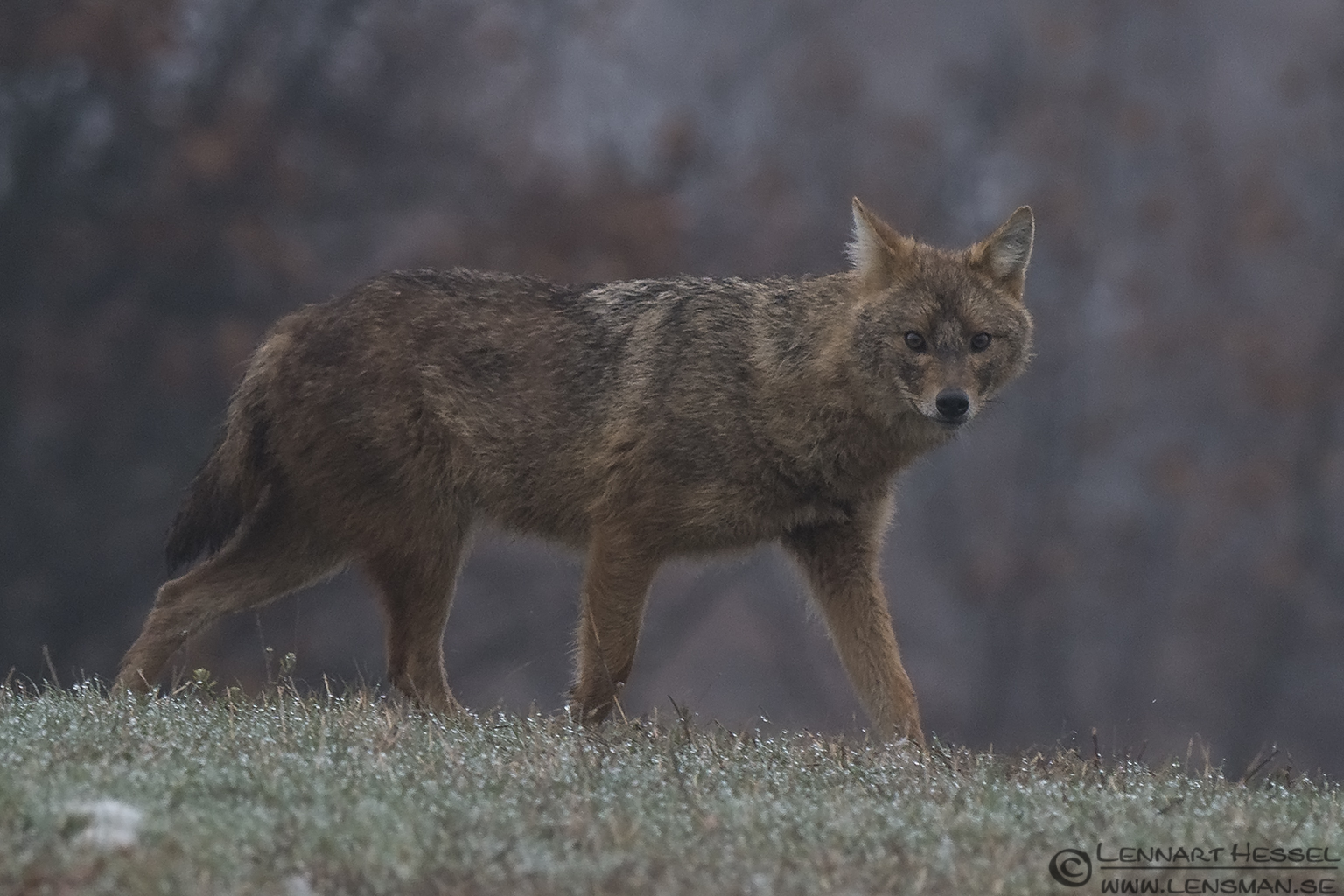 Golden Jackal walking Bulgaria