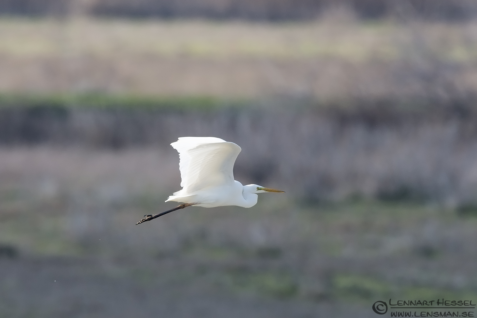 Great White Egret Evros Delta