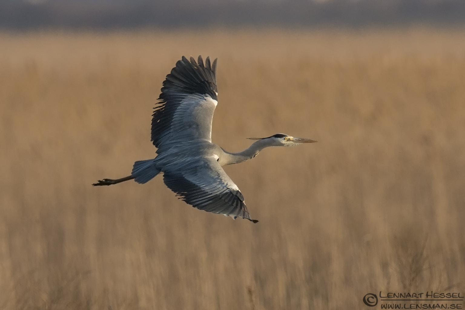 Grey Heron in flight Evros Delta