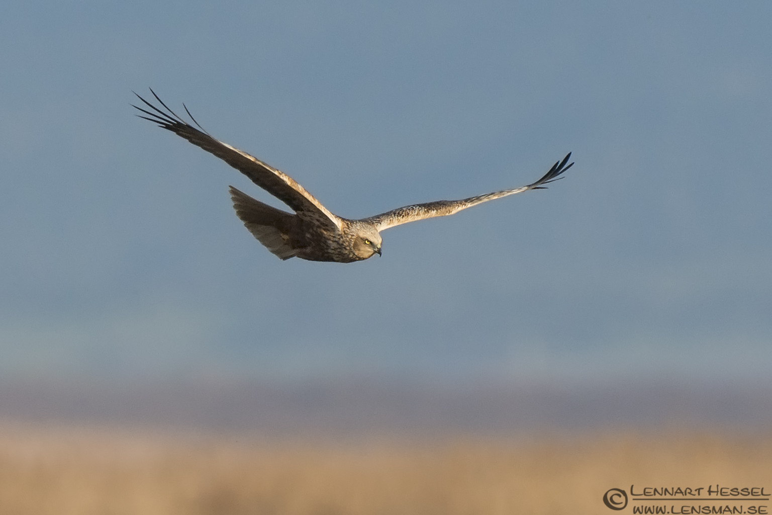 Western Marsh-harrier Evros Delta