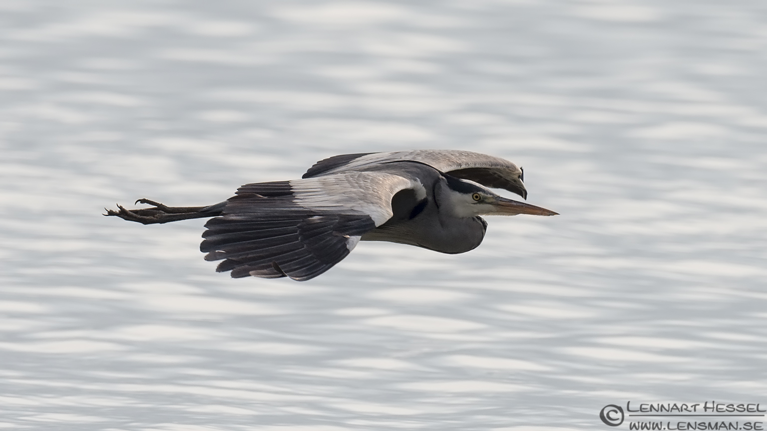 Grey Heron Lake Kerkini
