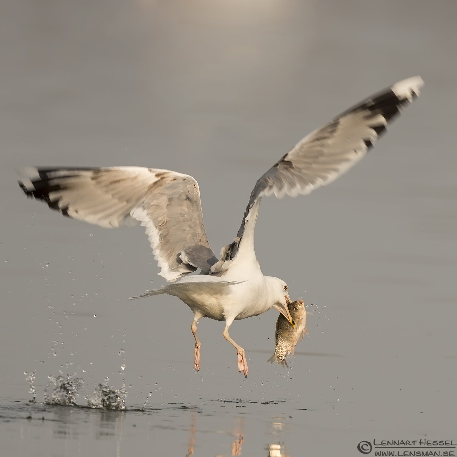 Yellow-legged Gull Lake Kerkini