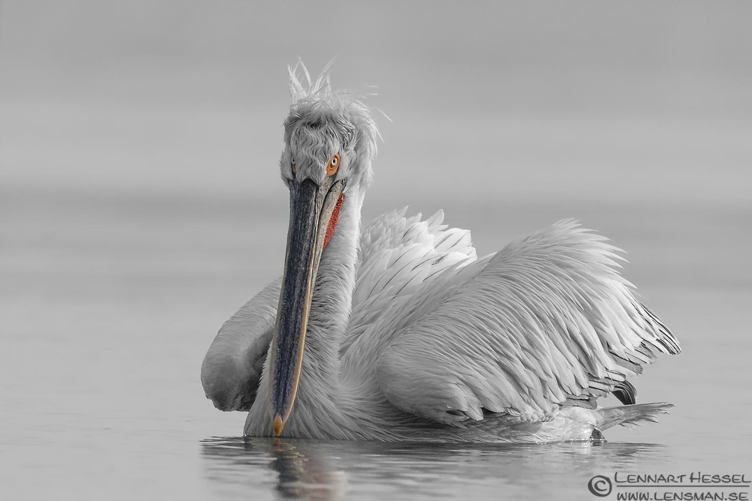 Dalmatian Pelican b&w