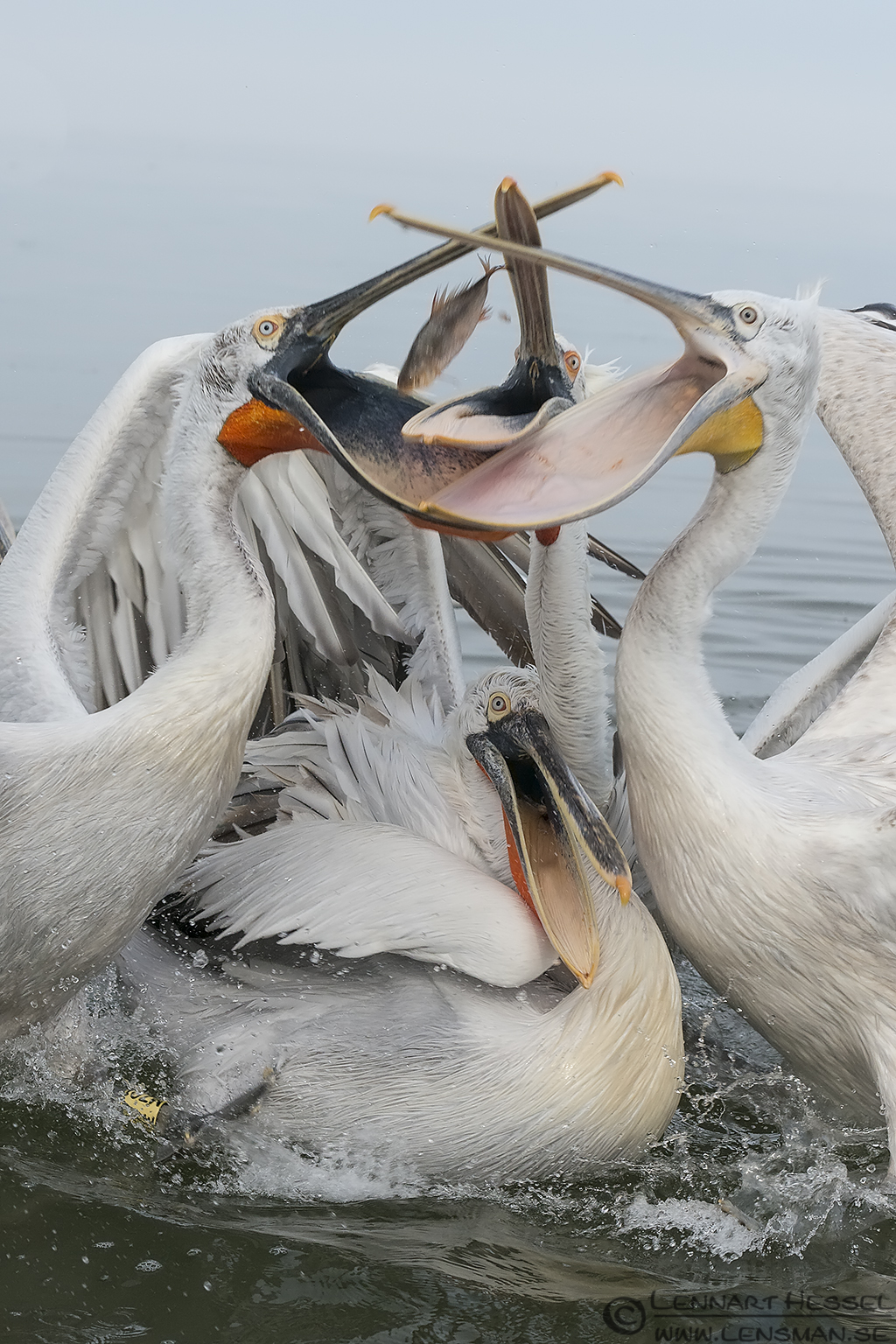 "Dalmatian Pelican ""Fish in the middle"""
