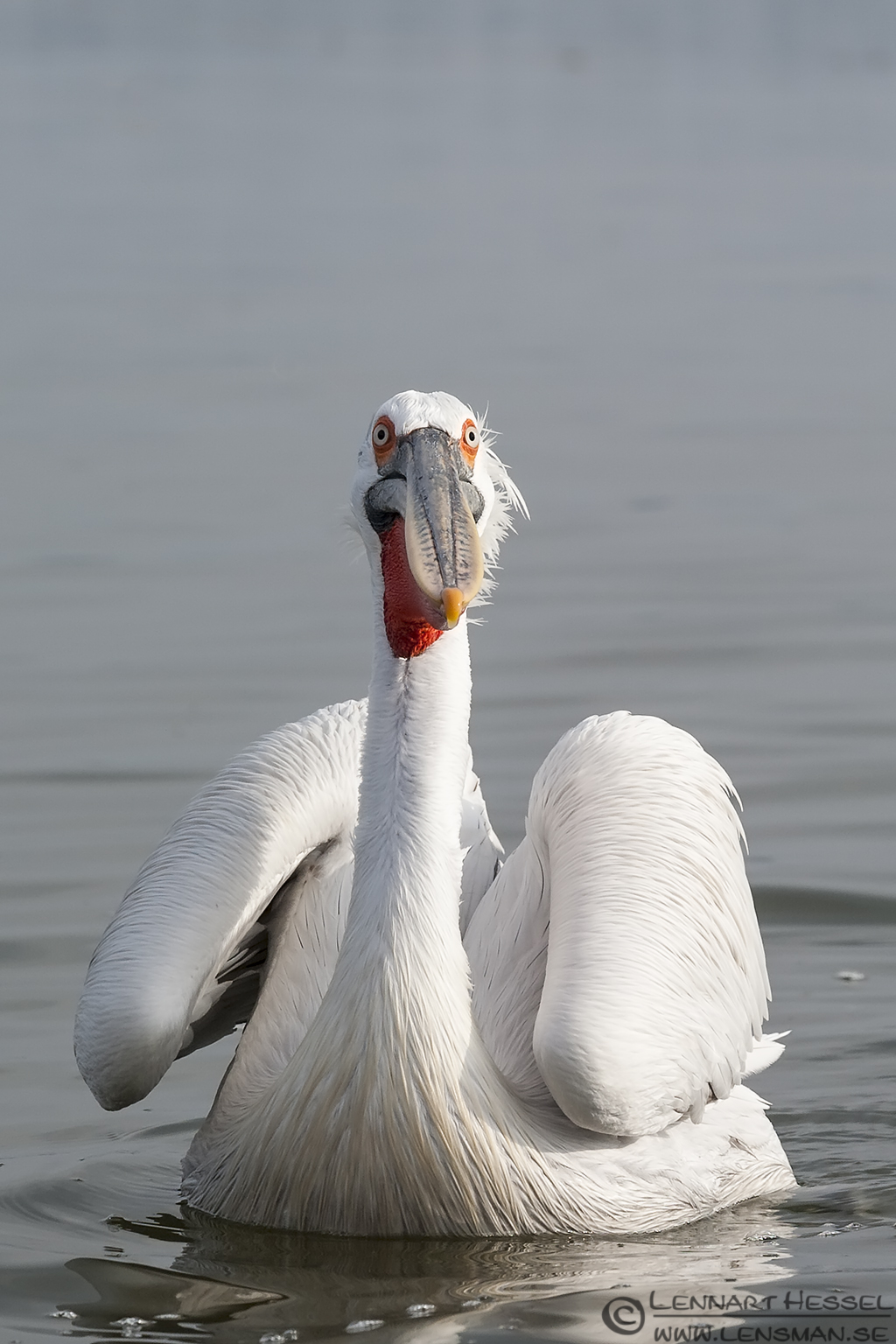 Dalmatian Pelican looking up