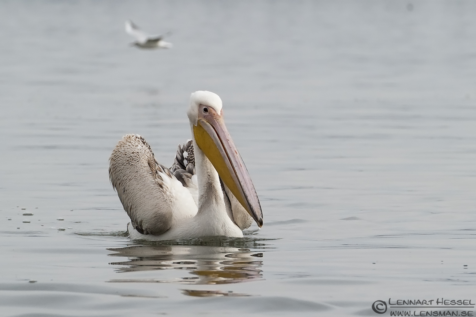 Great white Pelican Dalmatian Pelican