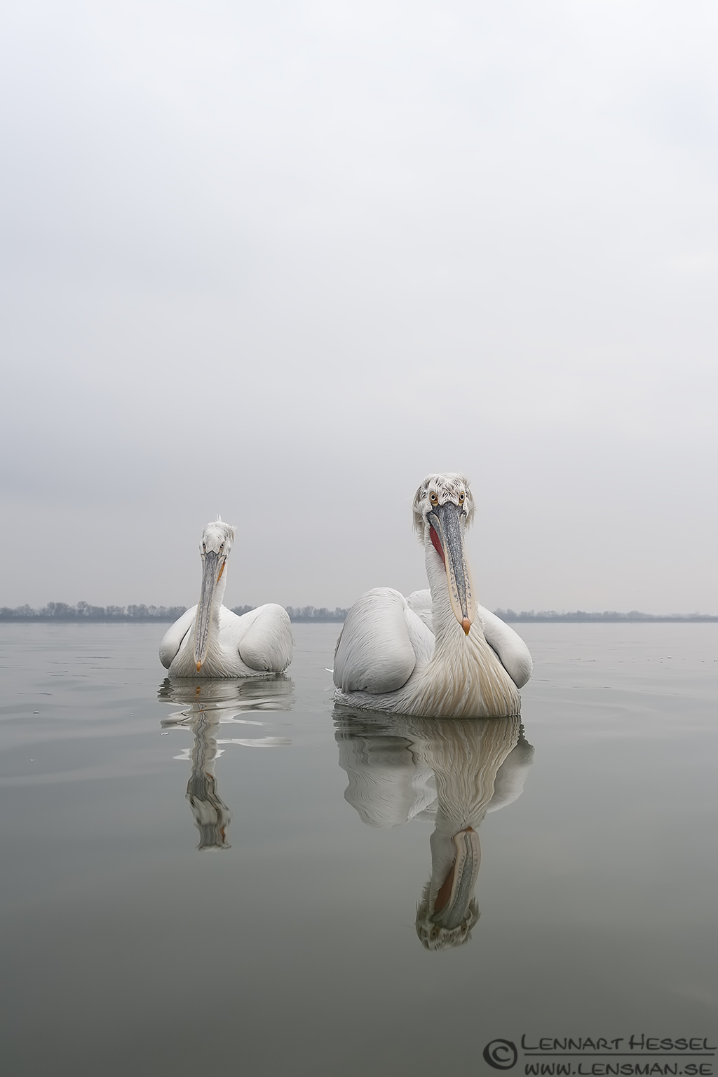 Dalmatian Pelican Lake Kerkini National Geographic