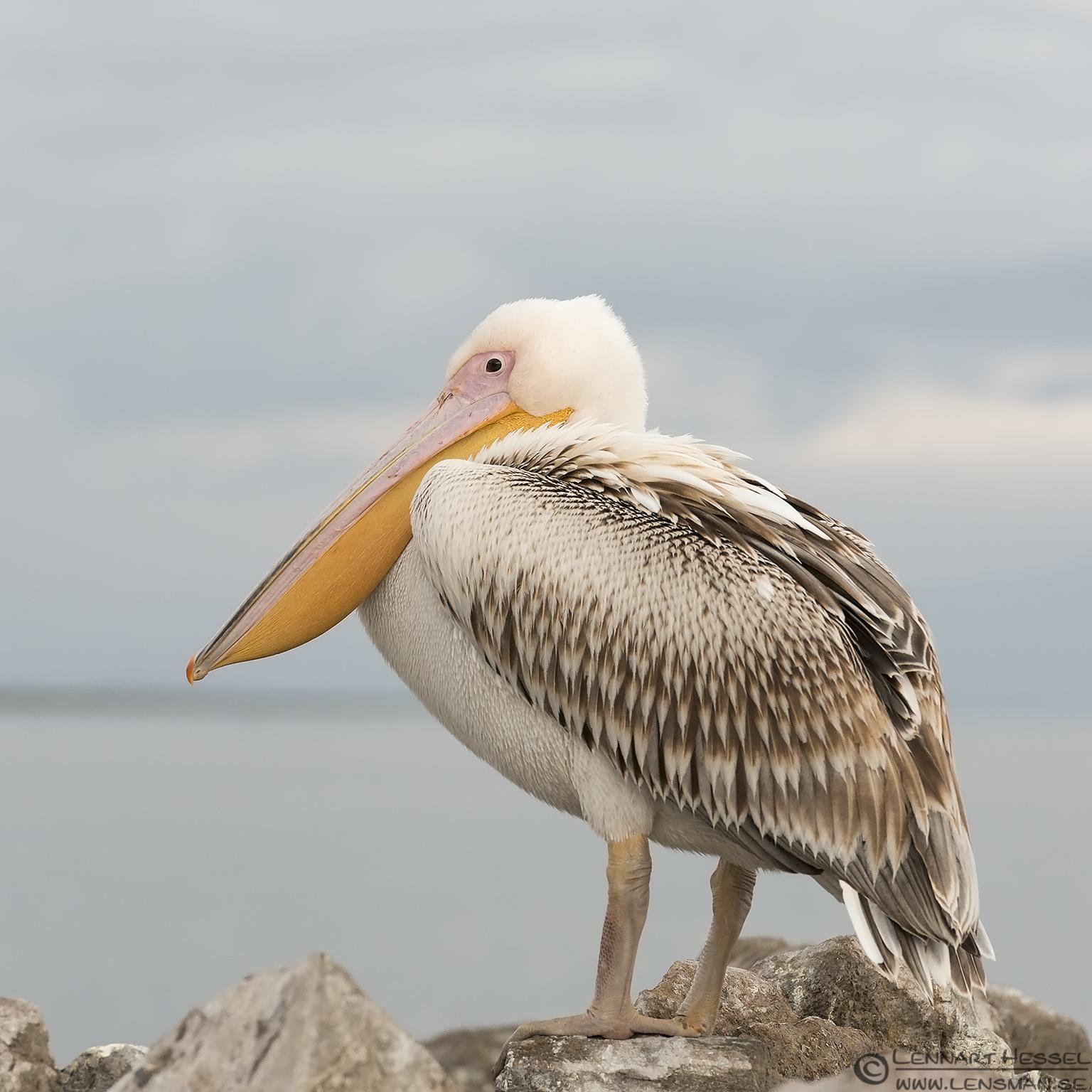 Great White Pelican Dalmatian Pelican