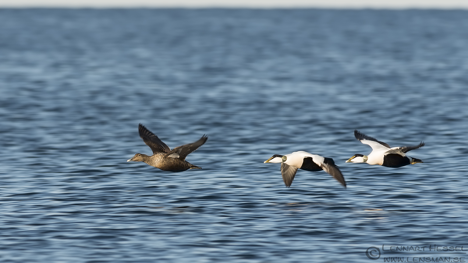 Common Eiders panning shot at Glommen