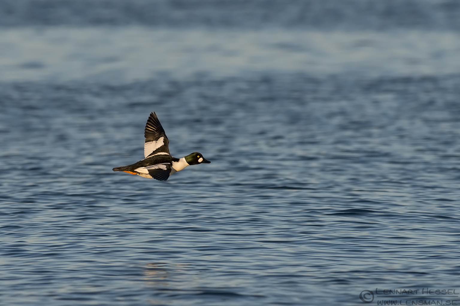 Common Goldeneye at Glommen