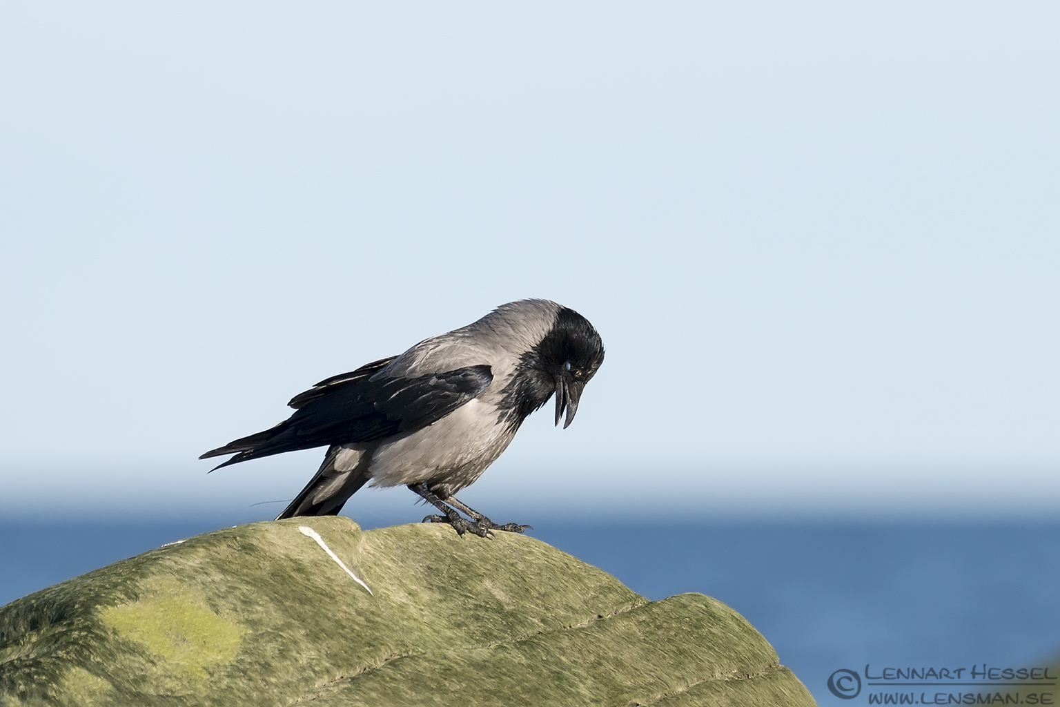 Hooded Crow at Glommen