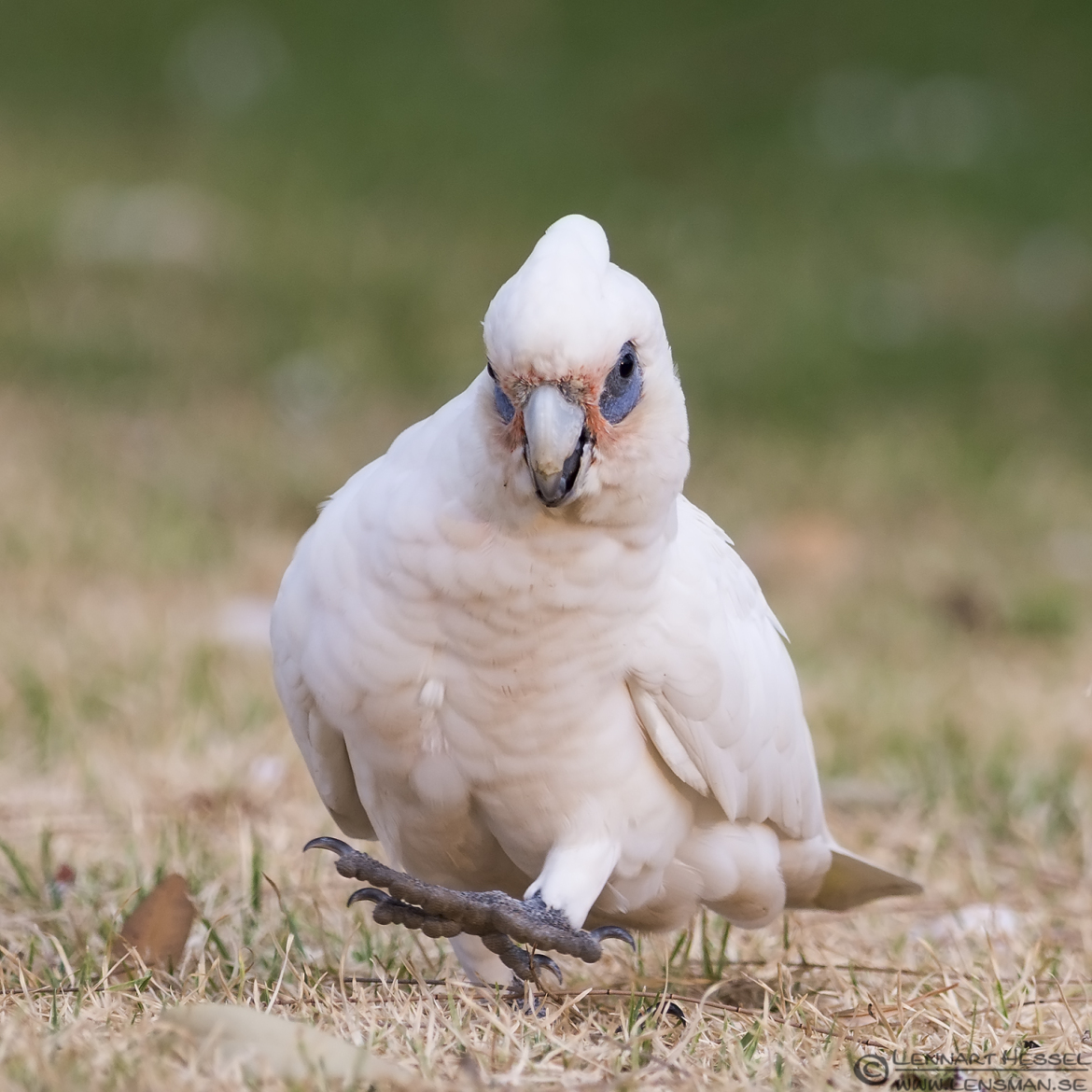 Little Corella wild bird Lensman Lennart Hessel Photography