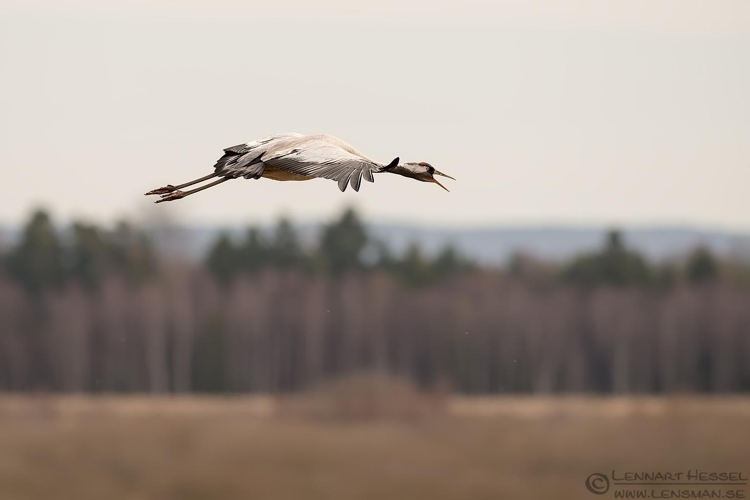 Calling Common Crane lekking