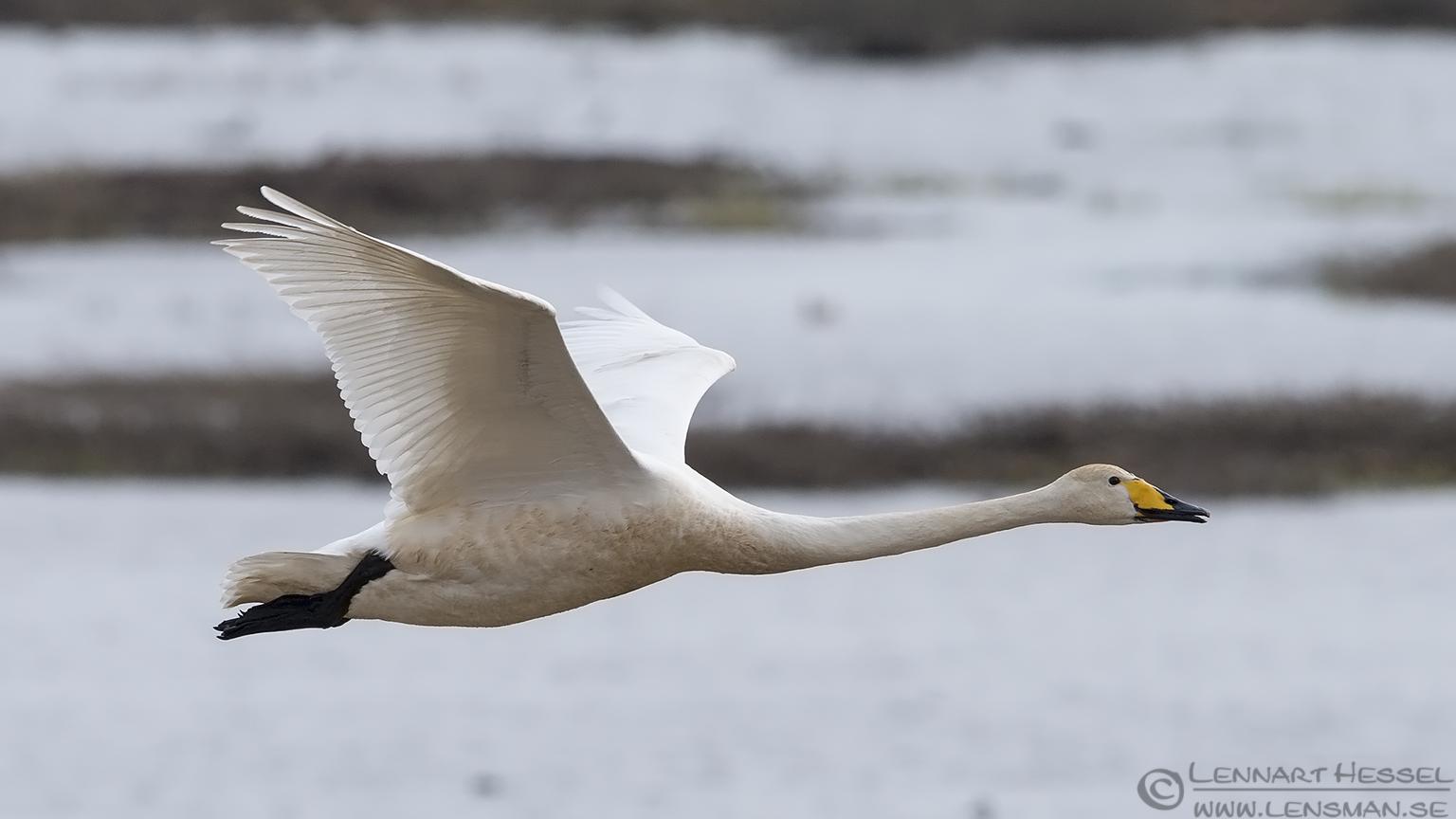Whooper Swan lekking