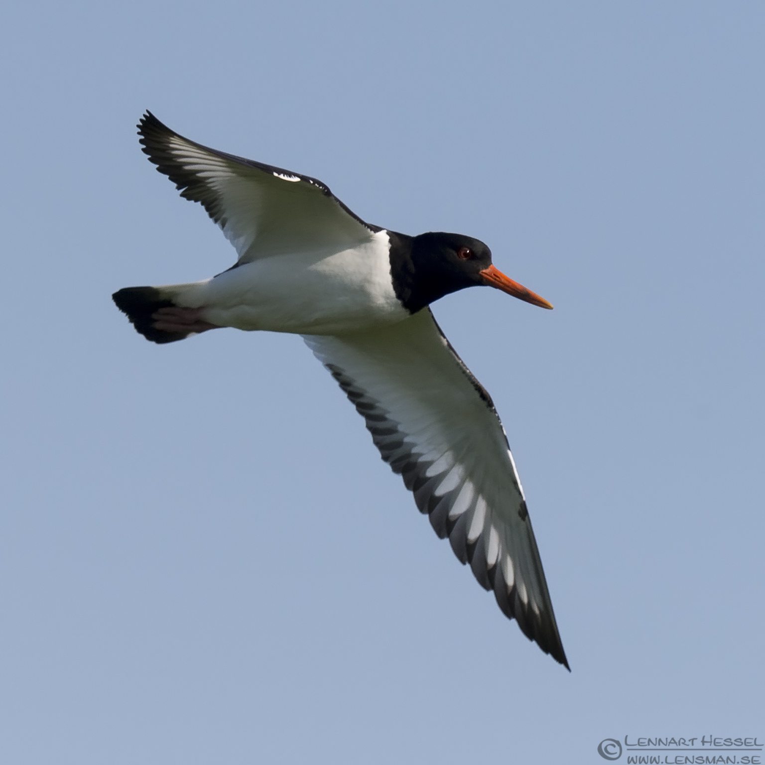 Eurasian Oystercatcher Easter day