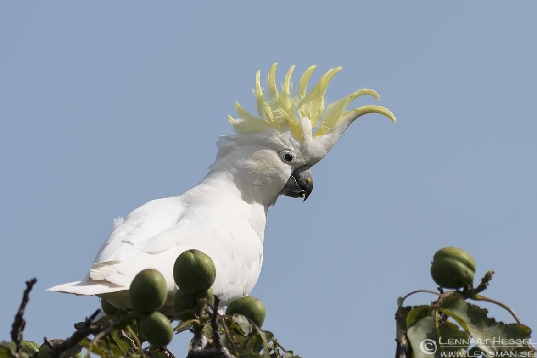 Sulphur-crested Cockatoo wild bird National geographic