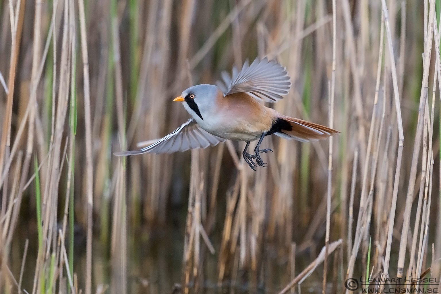 Flying Bearded Reedling