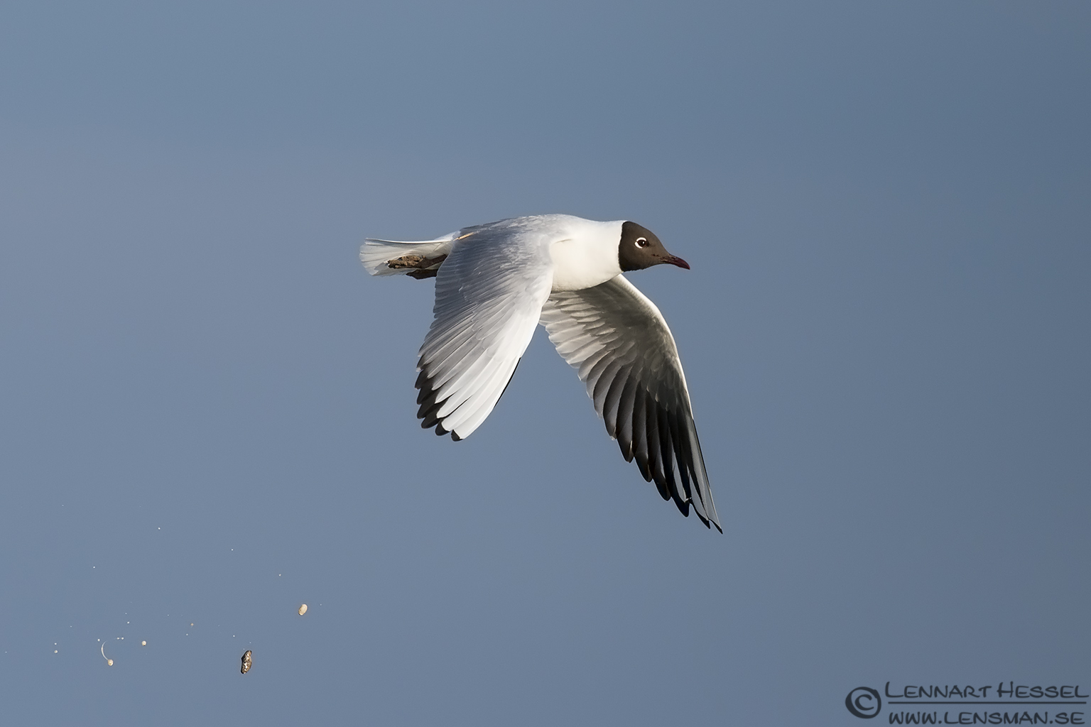 Black-headed Gull Bearded Reedling