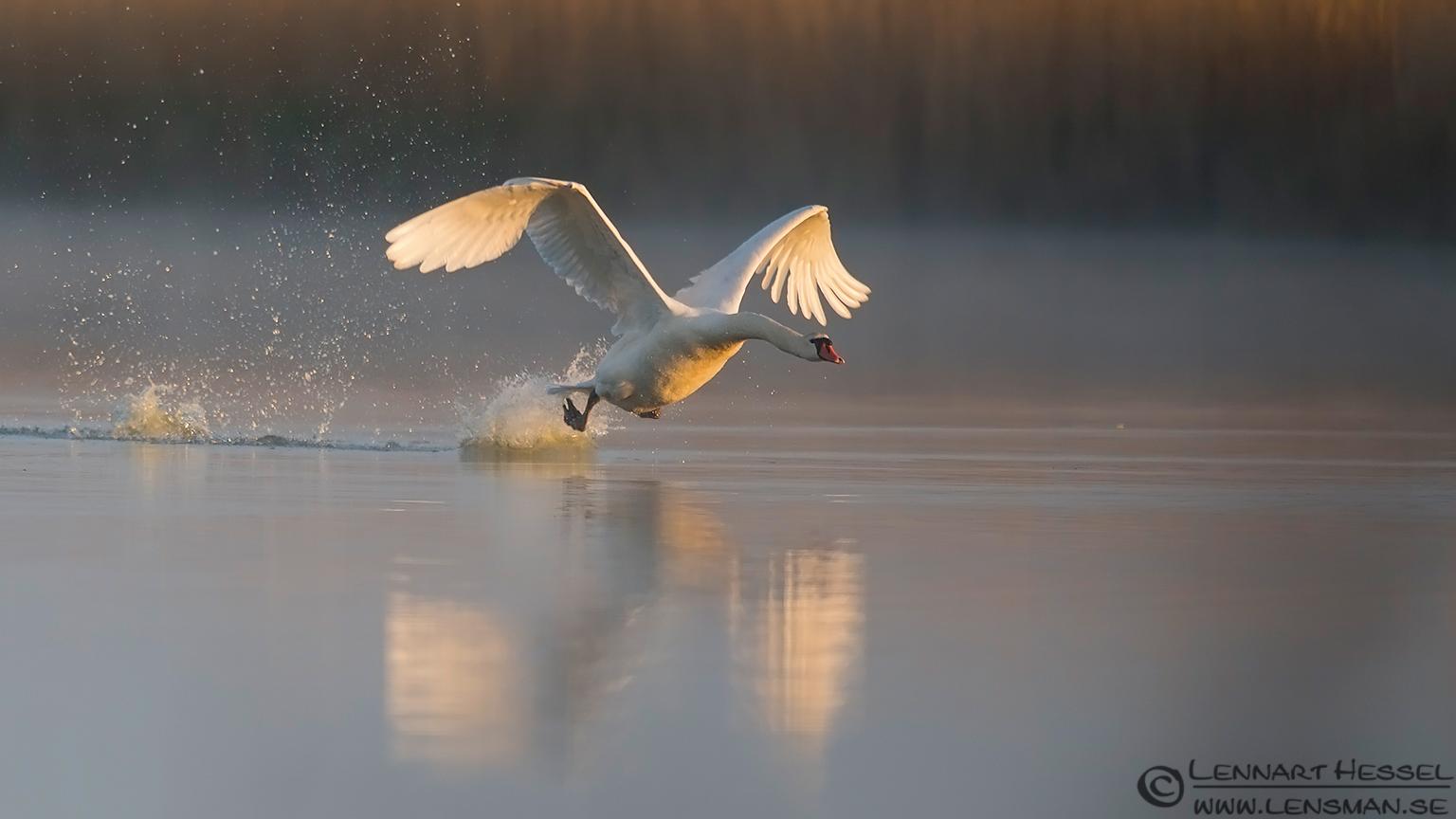Mute Swan Bearded Reedling