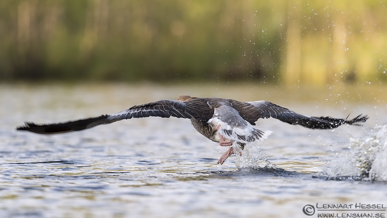 Greylag Goose Slavonian Grebe