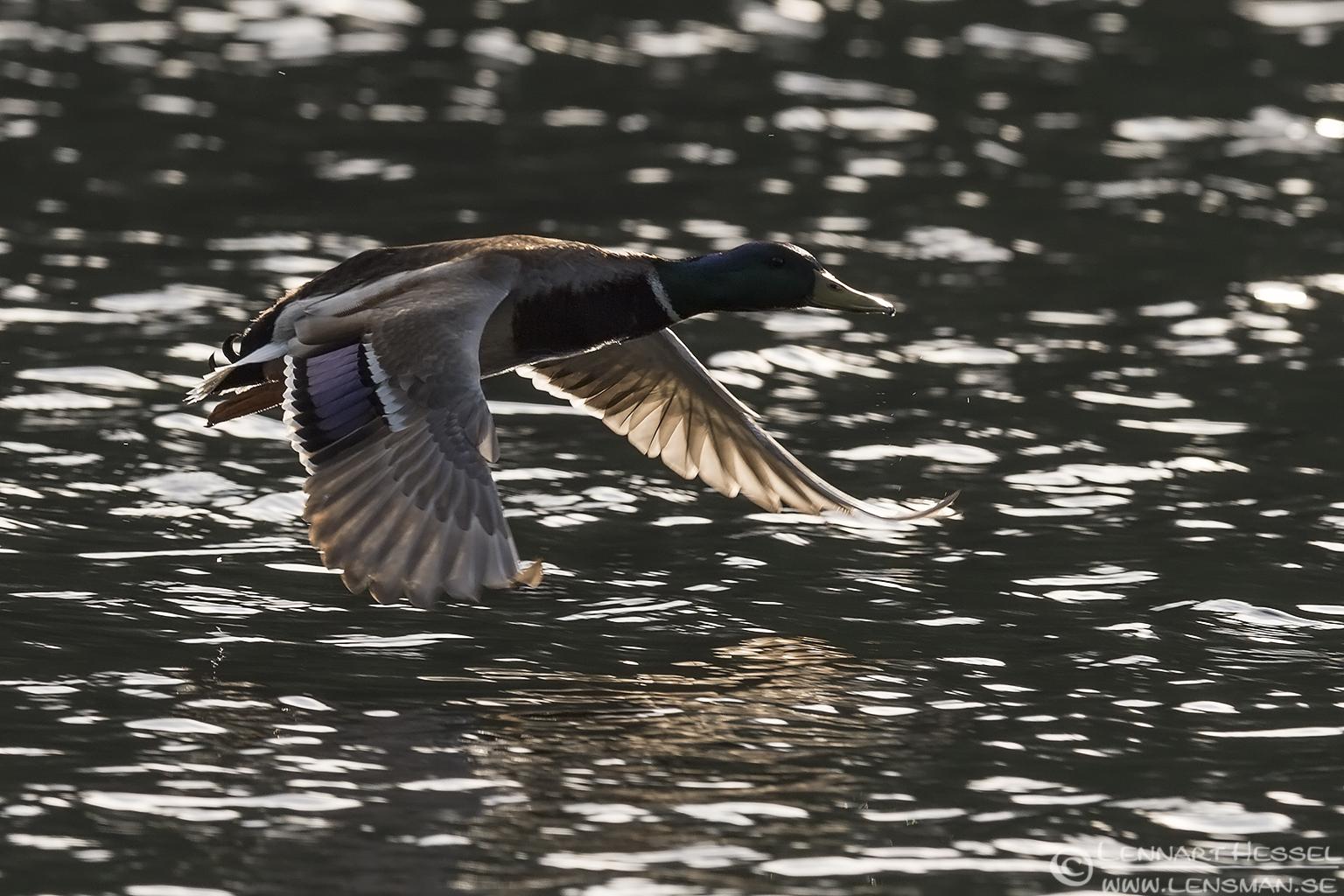 Mallard Duck Slavonian Grebe