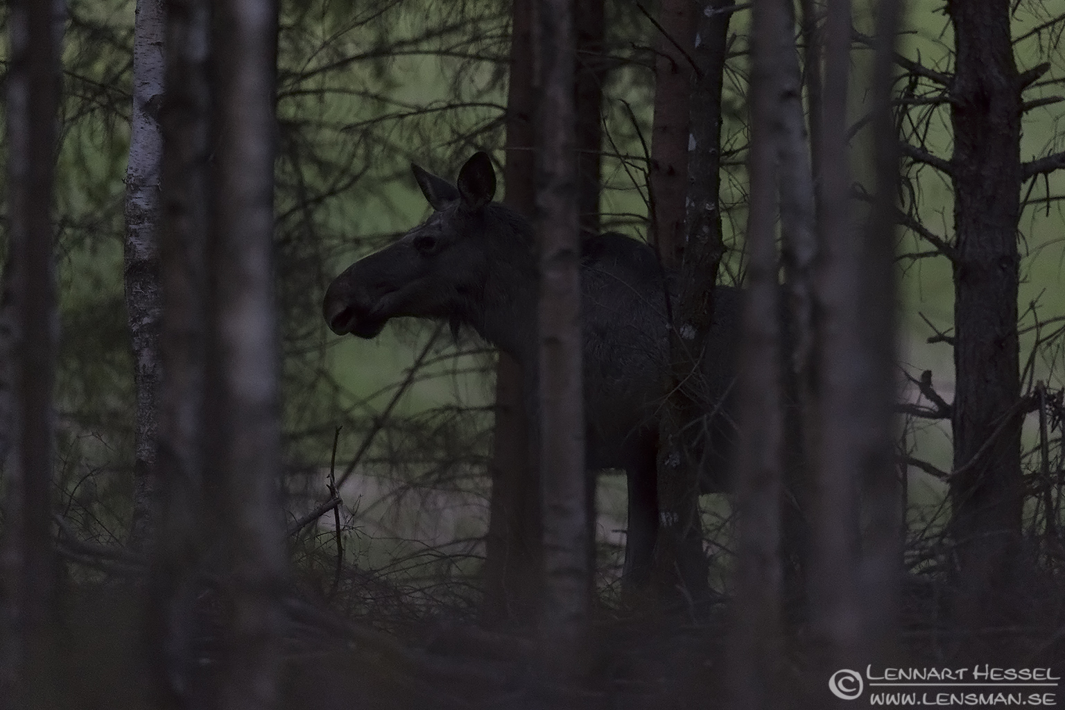 Elk in the wood