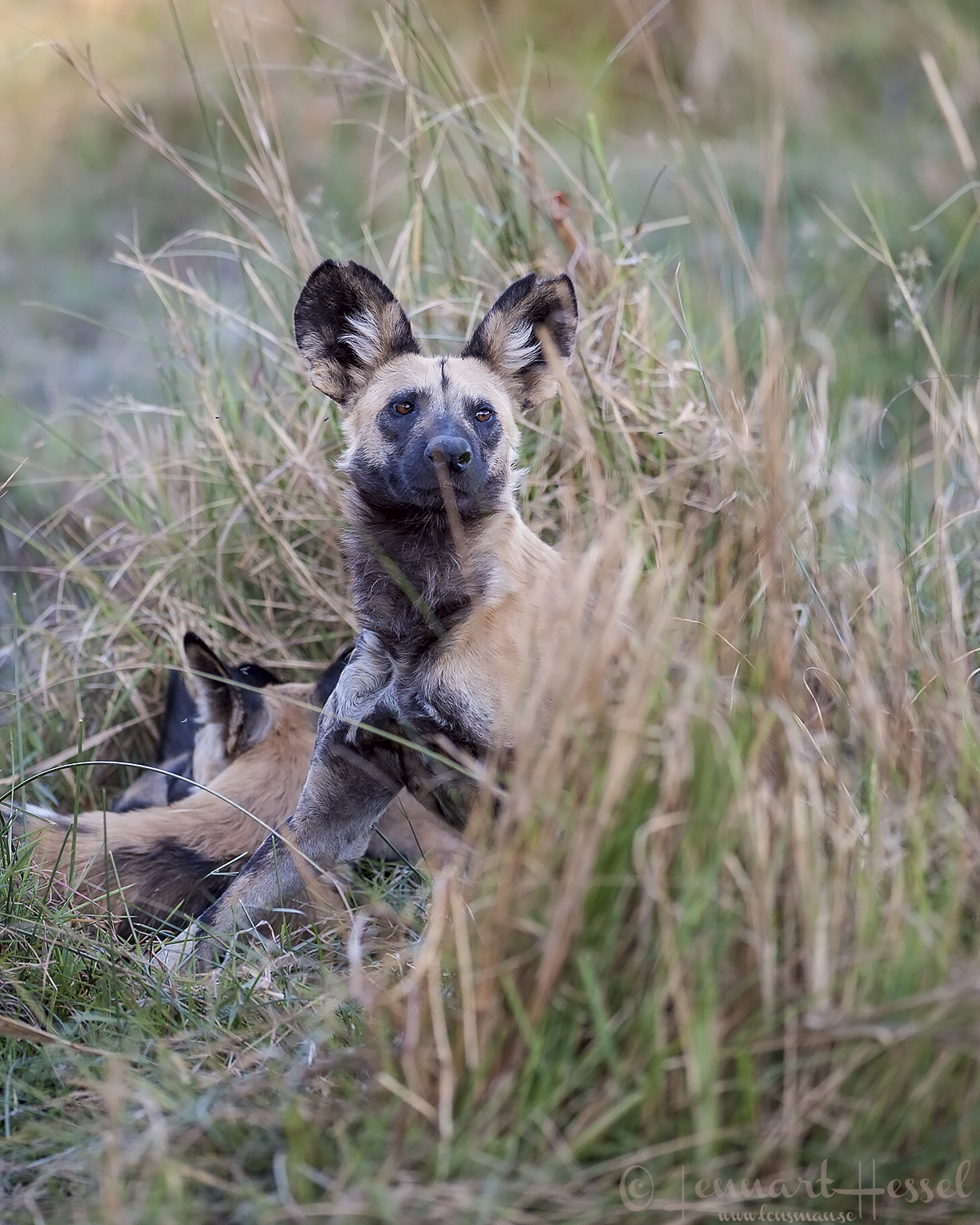 African Wild Dogs Botswana Moremi Game Reserve