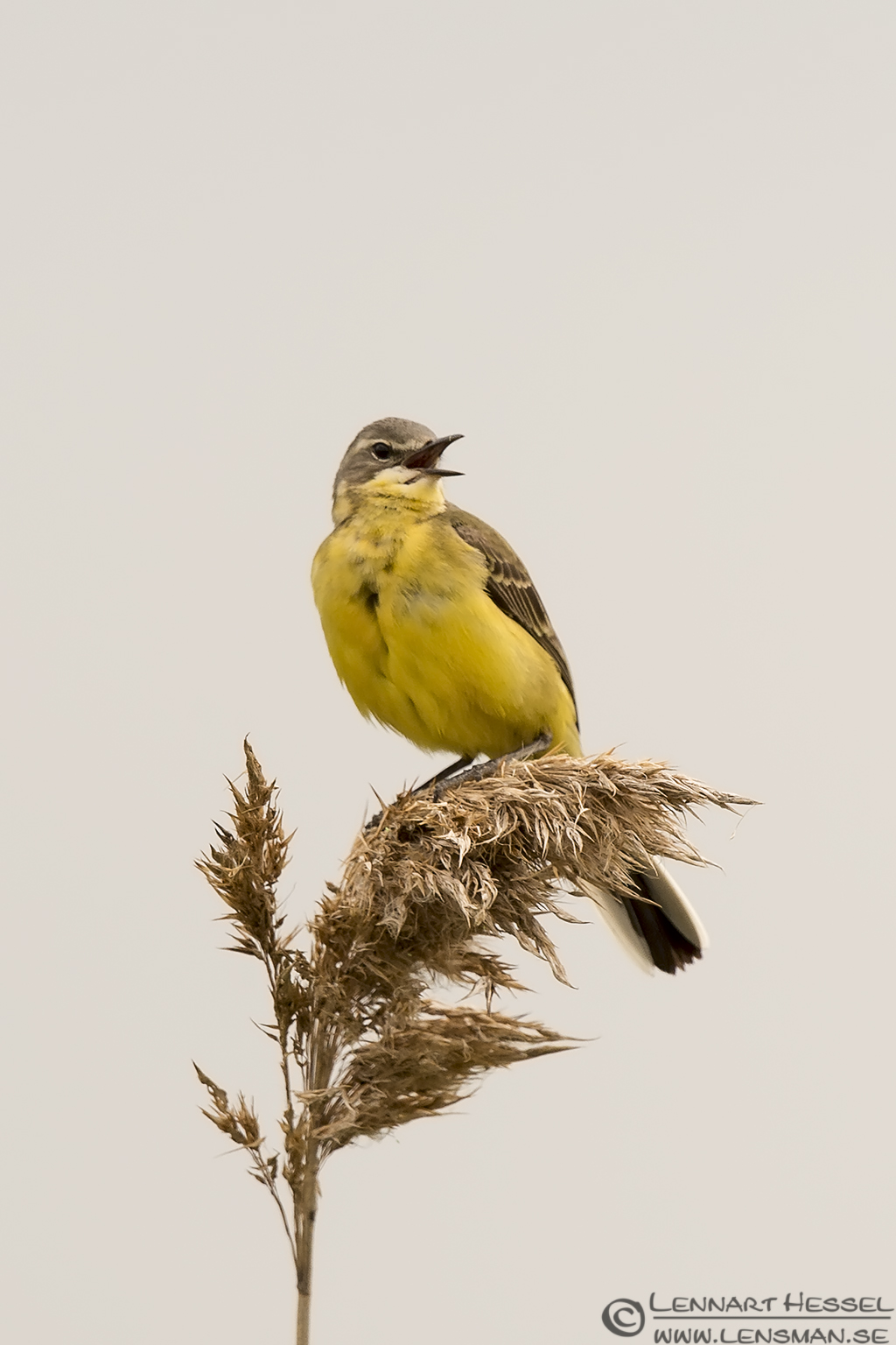Yellow Wagtail Black Tern