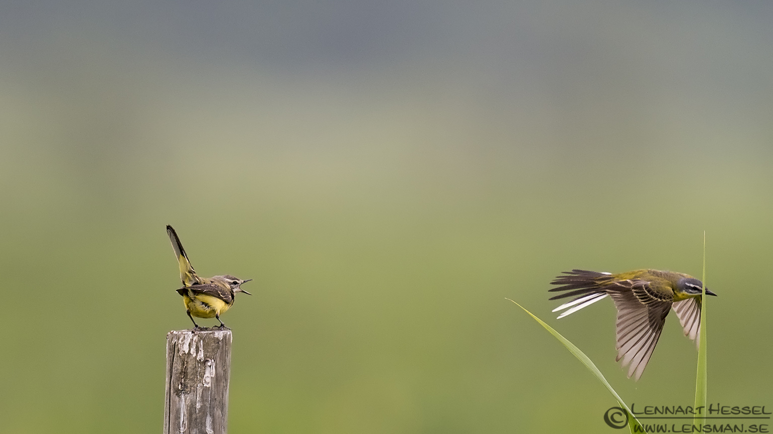 Yellow Wagtails Black Tern