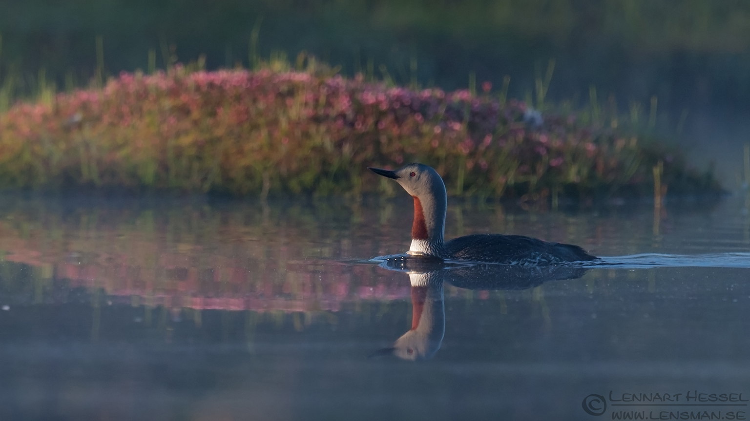 Red-throated Diver wild bird national geographic
