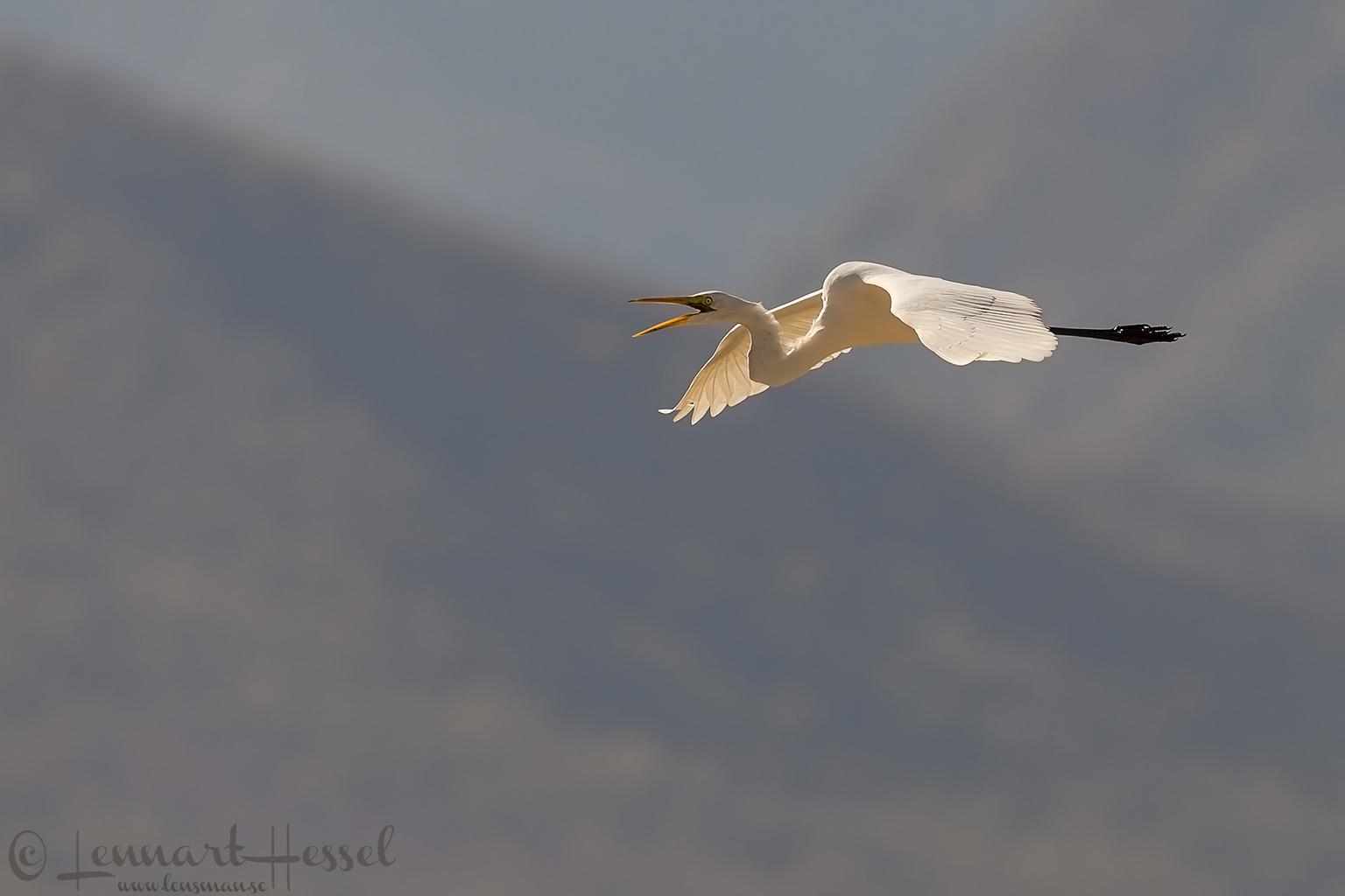 Great White Egret Mana Pools National Park, Zimbabwe