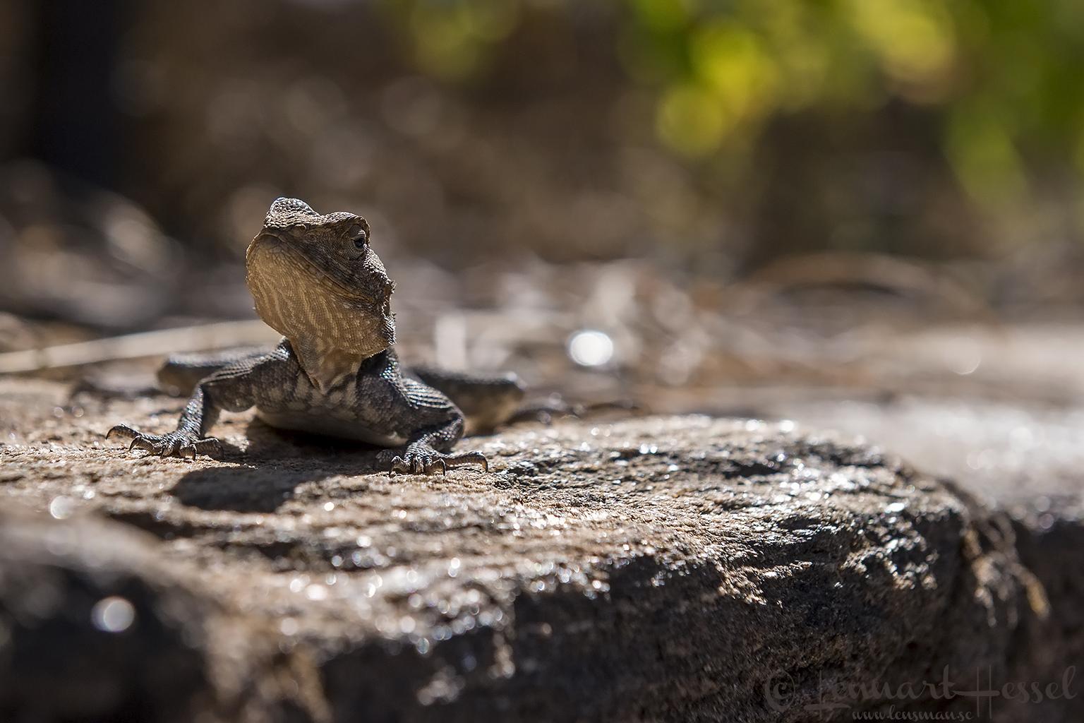 Rock Agama Mana Pools National Park, Zimbabwe
