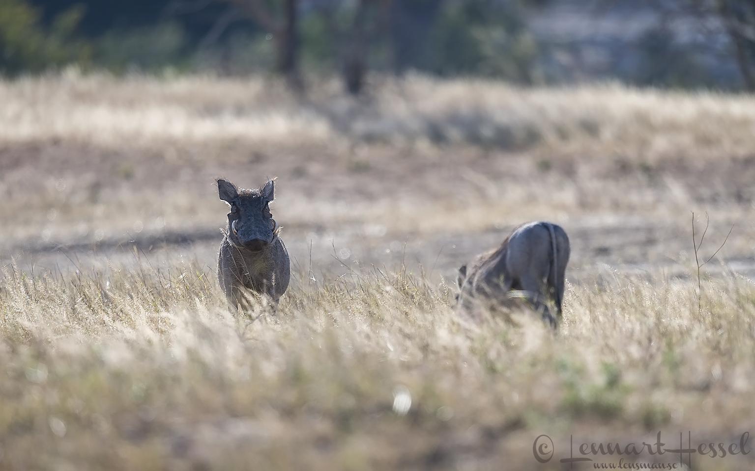 Warthogs Mana Pools National Park, Zimbabwe